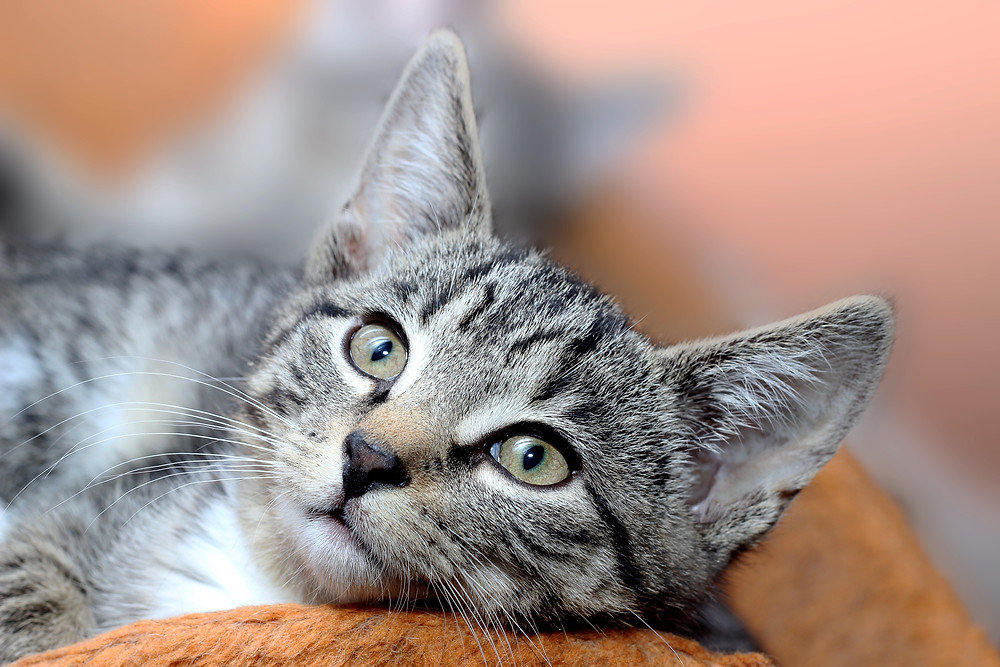Cat - TassieCat