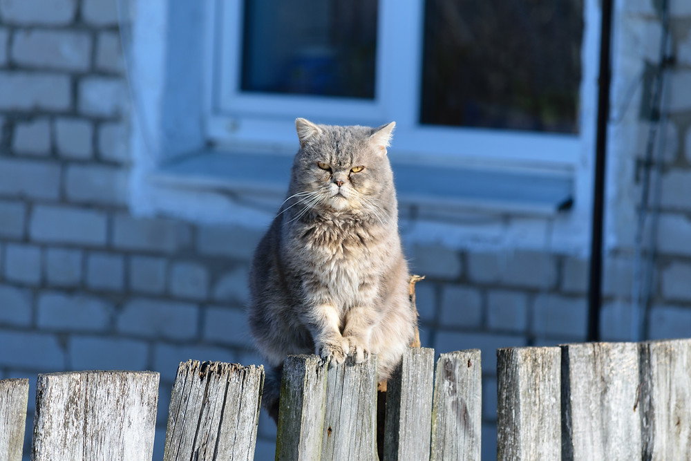 Cat on a fence - TassieCat