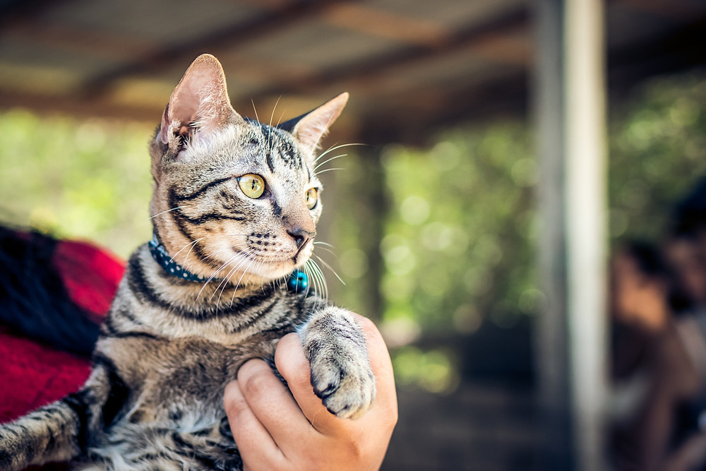 Cat with collar and bell - TassieCat