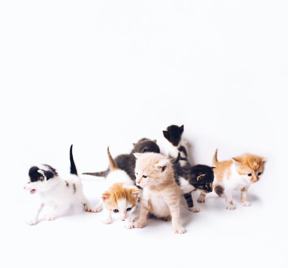 Litter of kittens - TassieCat