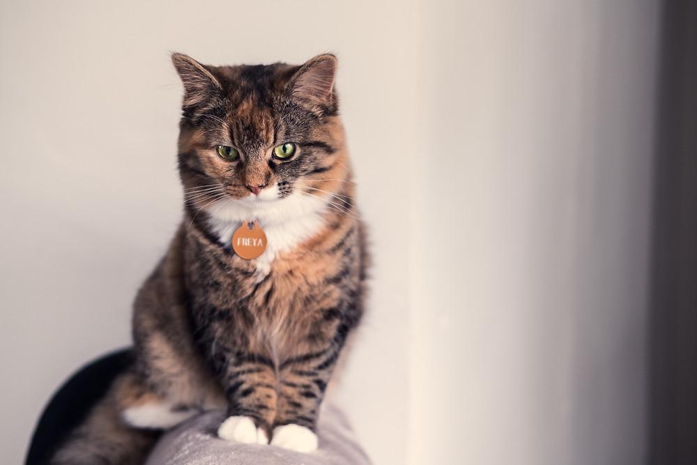 Cat with id collar - TassieCat