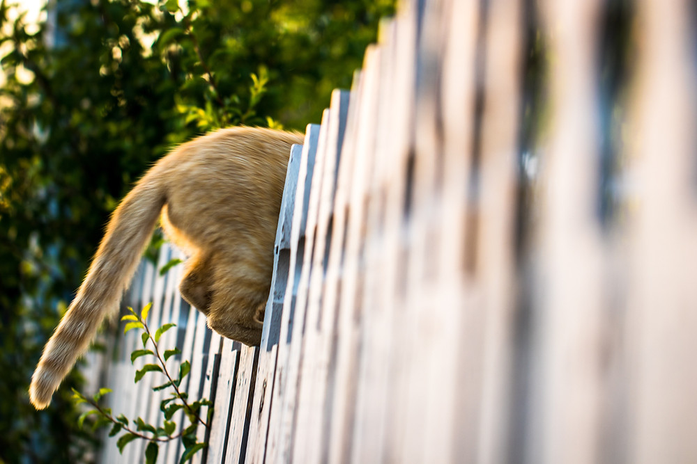 Cat jumping over fence - TassieCat