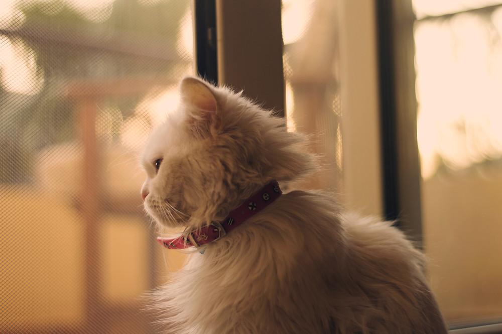 Cat with identification collar - TassieCat