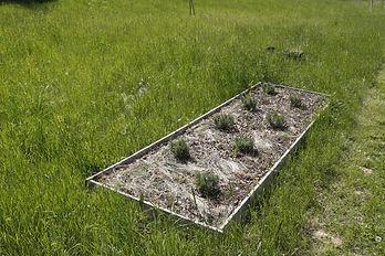 photo d'un bac en bois dans leqeul sont plantés des plans de lavande au milieu d'un jardin futur potager aromatique