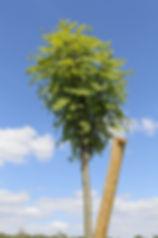 photo d'un Sorbier des oiseaux devant un ciel bleu