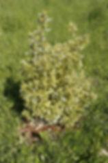 photo d'un arbuste persistant vert