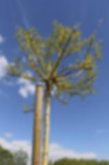 photo d'un jeune Saule pleureur  devant un ciel bleu
