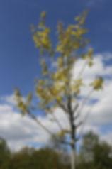 phot d'un chêne rouge d'Amérique
