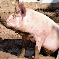Schlammbad finden auch unsere Schweine gut