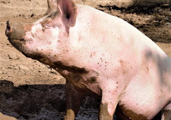 schweine website.jpg
