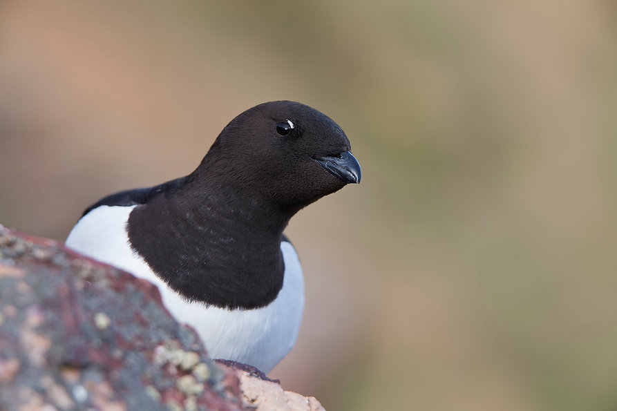 Little Auk (Alle alle) Dovekie, Thule