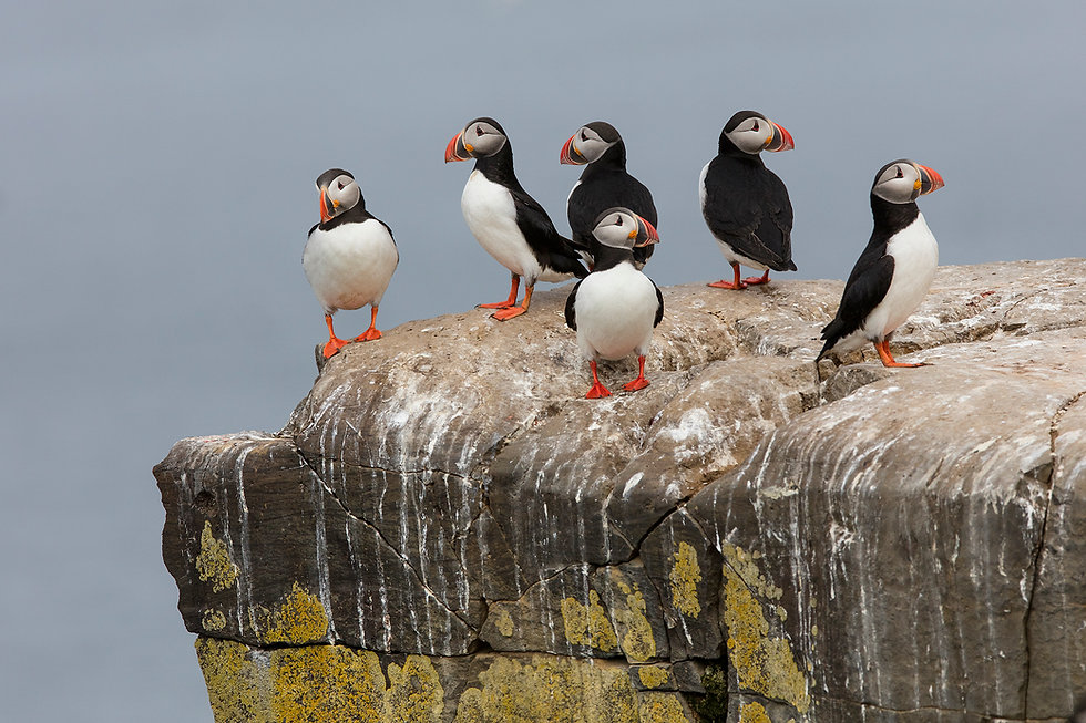 Puffins resting on a rock at Grimsey, Iceland.