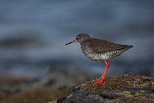 Redshank at Flatey