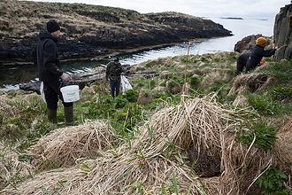 Eider down harvesting in Breddefjord, Iceland
