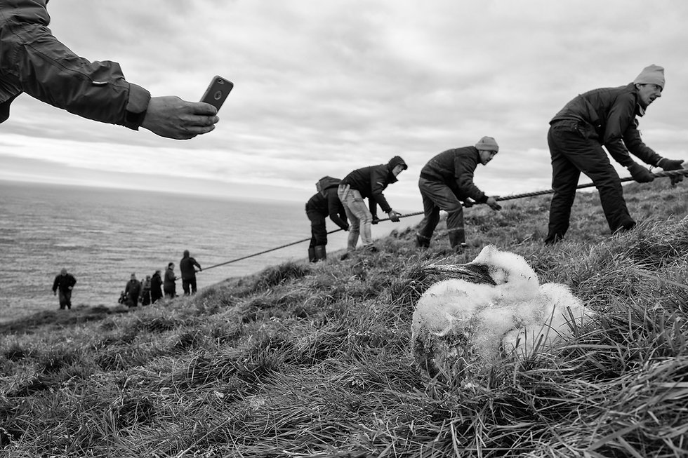 Puffin harvesting, Grimsey, Iceland