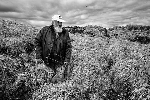 Eider down harvest, Flatey, Iceland.