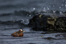 Red (Grey) Phalarope at Flatey