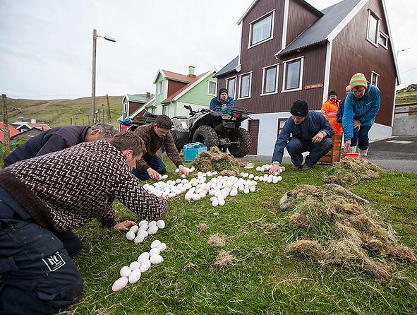 eider down harvest in Breddefjord, Iceland