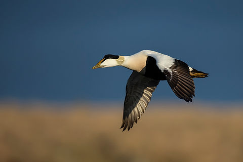 Male Common Eider, Flatey, Iceland.