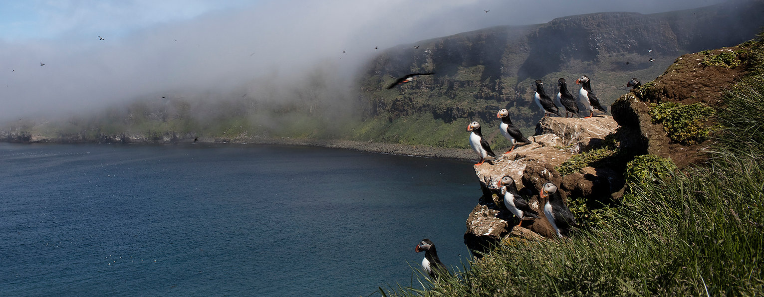 Puffins (Fratercula arctica), Grimsey, Iceland.