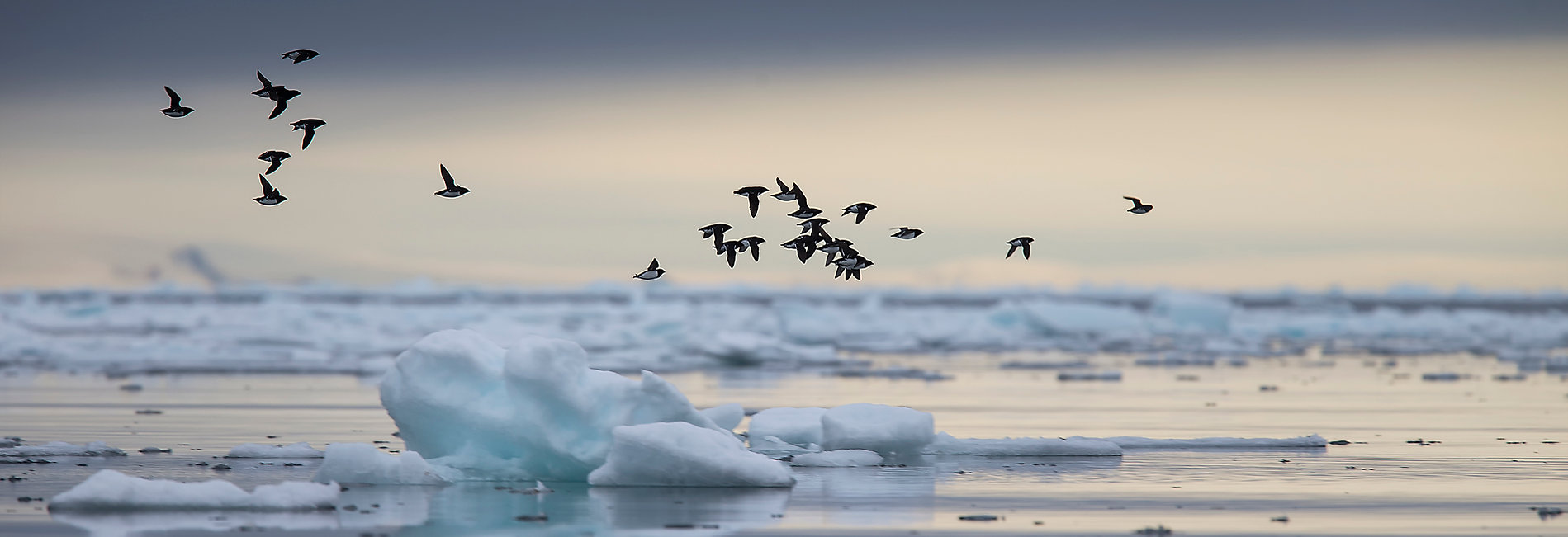 Little auks in the North Water Polynya