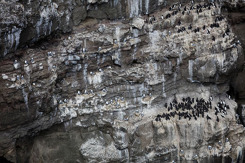 Guillemots and kittiwakes, Grimsey, Iceland.