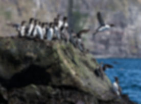 Common Guillemots, Látrabjarg, Iceland