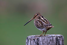 Common Snipe at Flatey