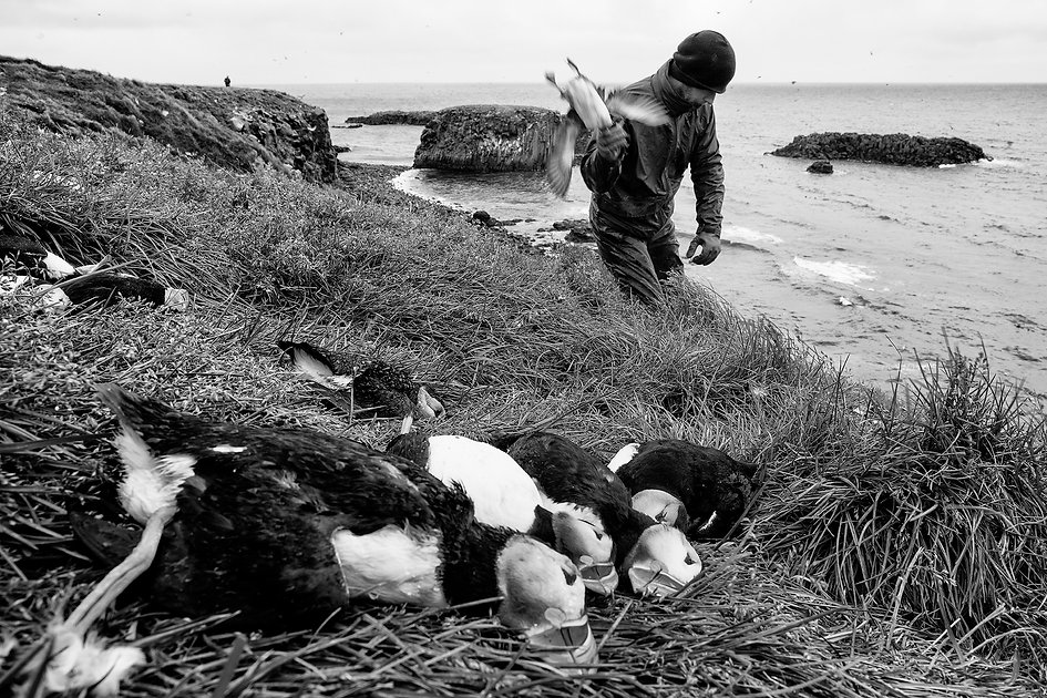 Puffin hunting, Grimsey, Iceland.est in front of the village at Flatey