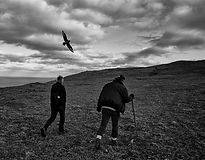 Long walk between Great Skuas