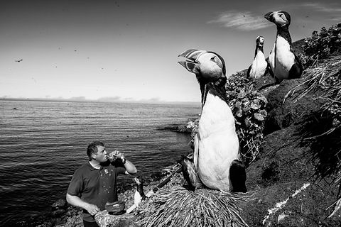 Puffin hunting, Grimsey, Iceland.