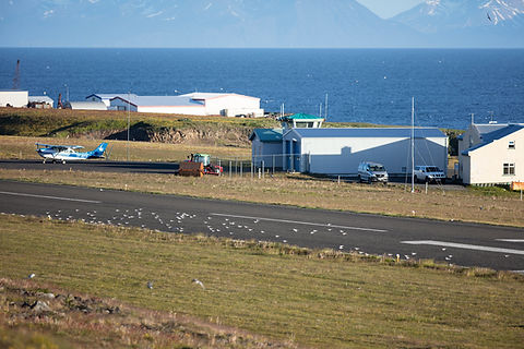 Arctic terns at the airstrip of Grimsey, Iceland.
