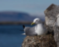 Blaclk-legged Kittiwake, Iceland.