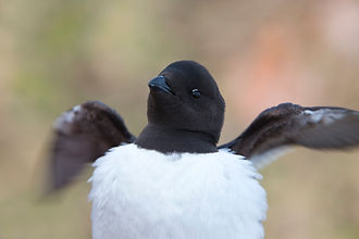Dovekie - Little Auk - Alle alle