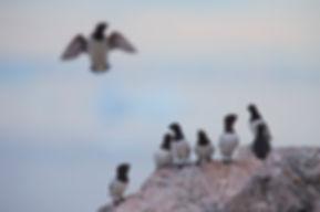 Little Auks (Alle alle), Thule, Greenland