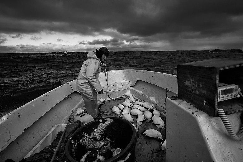 Brünnich's guillemot (Uria lomvia) hunting Nuuk, Greenland