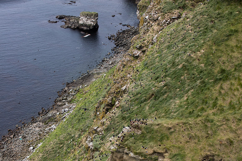 Puffin colony at the western side of the island Grimsey, Iceland.