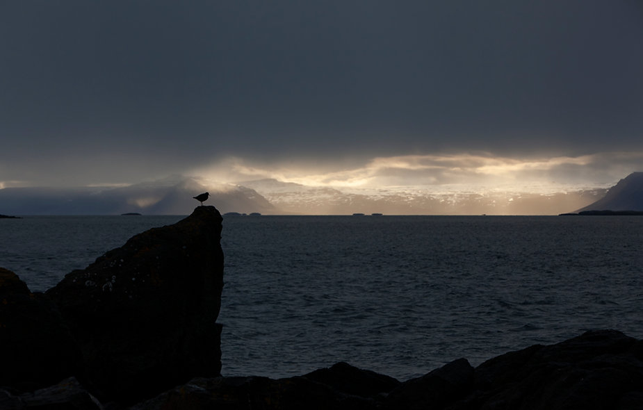Redshank in Breddefjord landscape