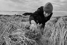eider down harvesting, Breddefjord