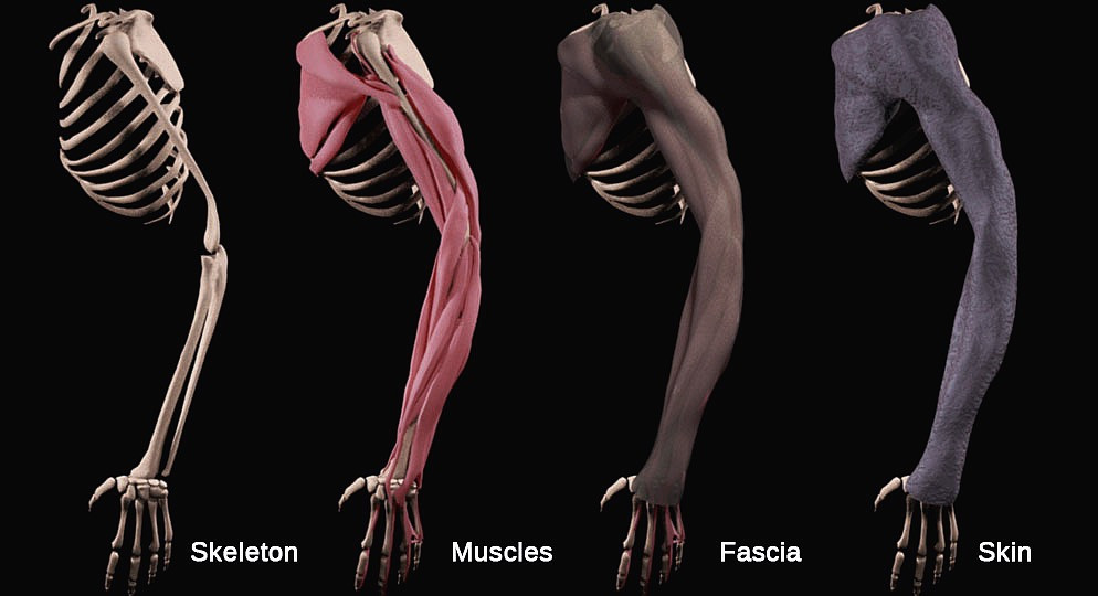 William gabriele character rigger td blog skin binding and skin simulation Maya muscle cloth skin simulation diva dynamics