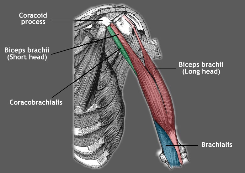 william gabriele character rigger td muscle coraco brachialis muscle system article