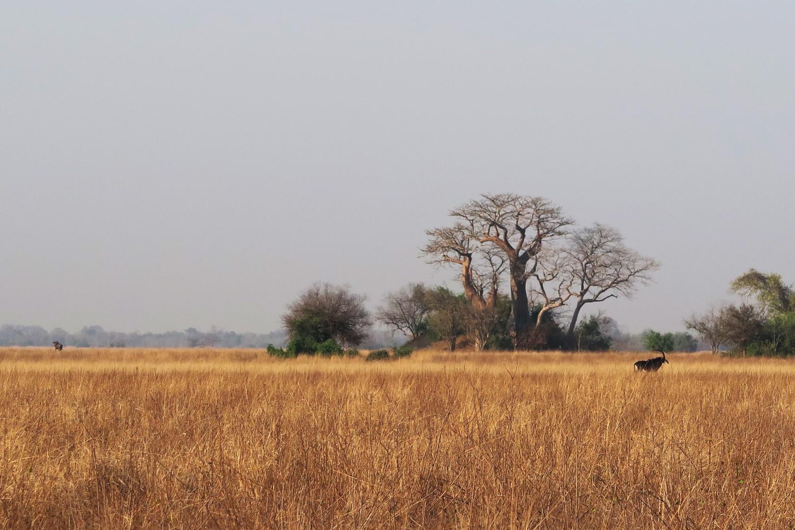 Savanna and Baobab Trees