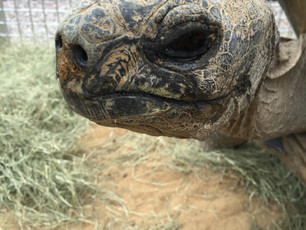 File Under:  Lessons Learned from an Ancient Aldabra Tortoise