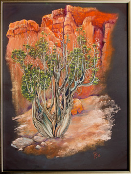 Utah Juniper in the Red Canyon - USA