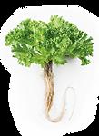 salad-roots.png