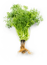 mountain-coriander-roots.png