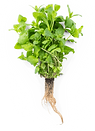 green-mint-roots.png
