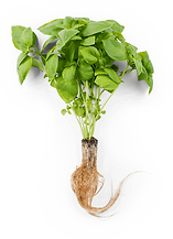 lemon-basil-with-roots.png