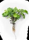 scarlet-kale-roots.png