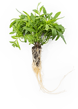 peruvian-mint-roots.png